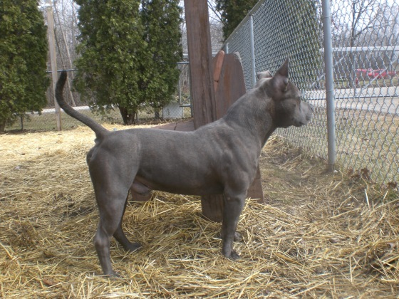 Blueberry Pit Bull Terrier mix 1