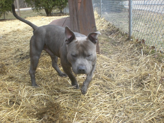 Blueberry Pit Bull Terrier mix 2