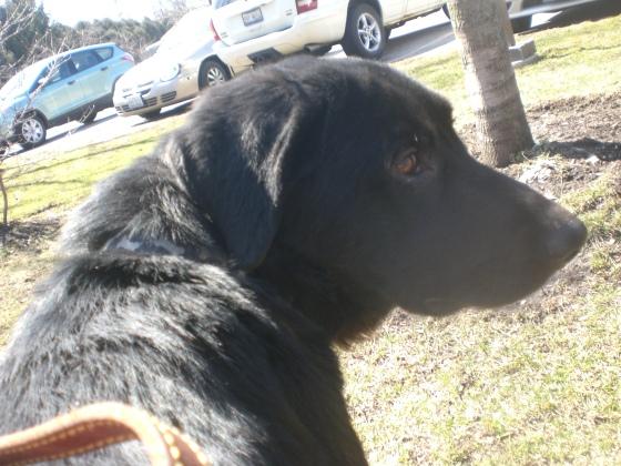 Enos Black Labrador Retriever mix 2
