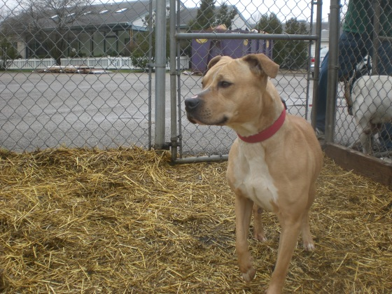 Sweet Pea Pit Bull Terrier mix 1