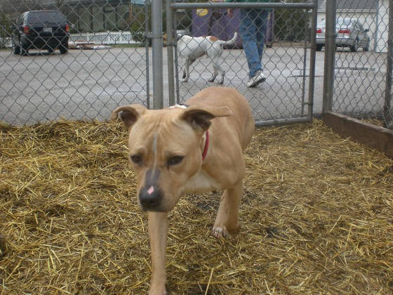 Sweet Pea Pit Bull Terrier mix 2