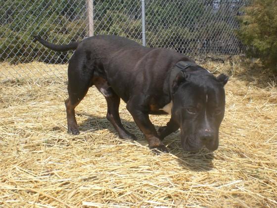 Tom Tom Pit Bull Terrier mix 2