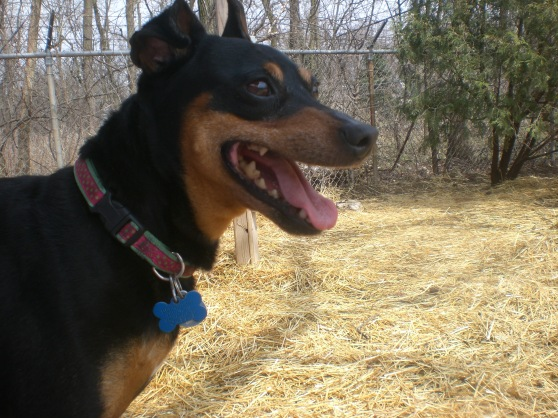 Nano Miniature Pinscher mix 1