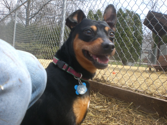 Nano Miniature Pinscher mix 2