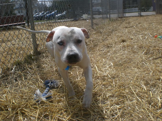 Elmo Pit Bull Terrier mix 1