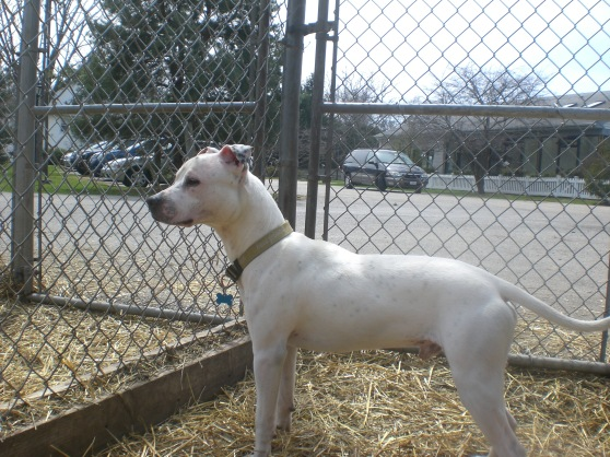Elmo Pit Bull Terrier mix 2