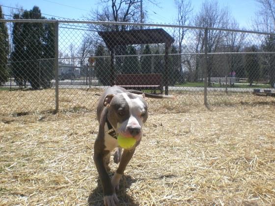 Lance Pit Bull Terrier mix 1