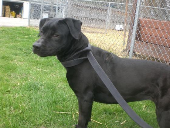 Sydney Labrador Retriever Pit Bull Terrier mix 1
