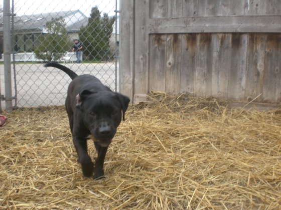 Sydney Labrador Retriever Pit Bull Terrier mix 2