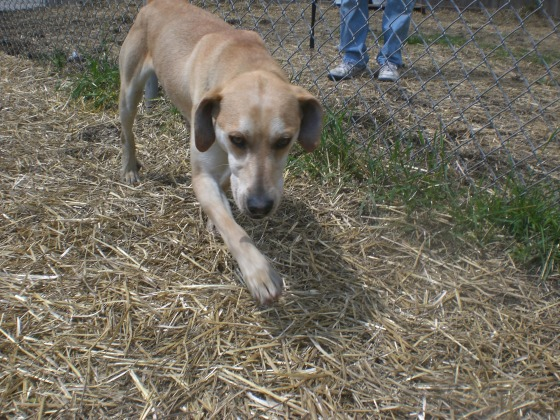 Bo Plott Hound mix 1
