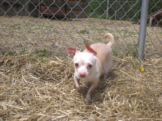 Nacho Chihuahua mix 1