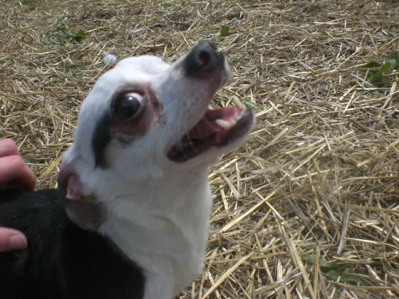 Zorro Chihuahua mix 1