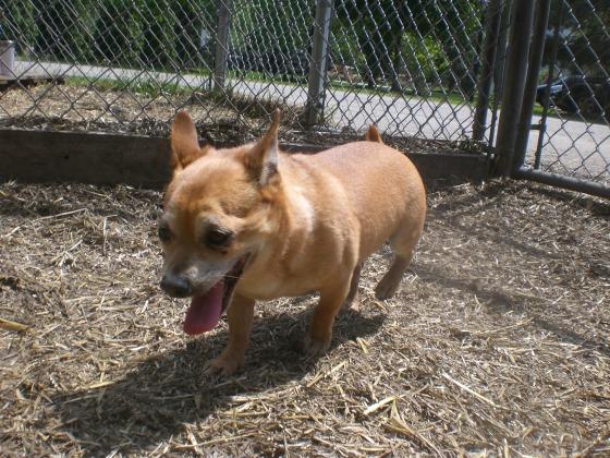 Rocky Chihuahua mix 2
