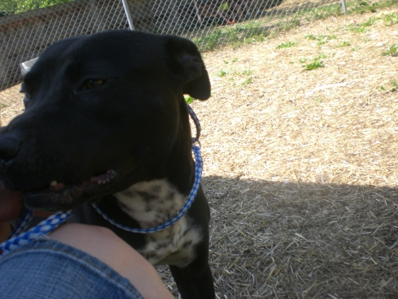 Stanley Pit Bull Terrier mix 2