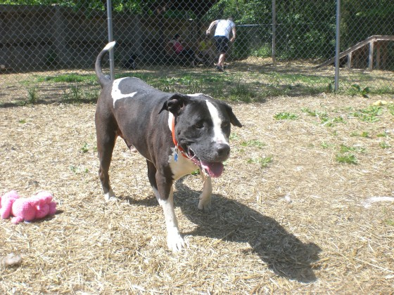 Scotty Pit Bull Terrier mix 1
