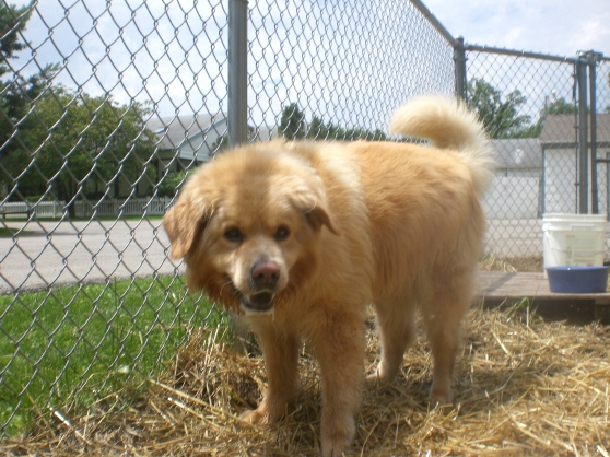 Sunnie Chow Chow Golden Retriever mix 1