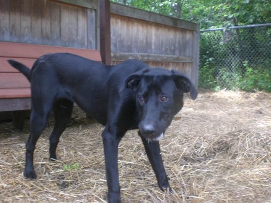 Brooklyn Black Labrador Retriever mix 1