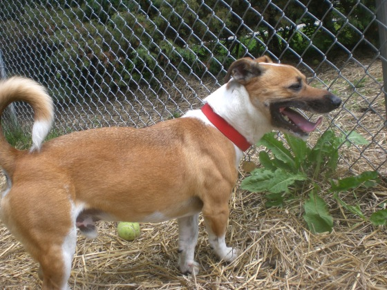Charlie Jack Russell Terrier mix 1