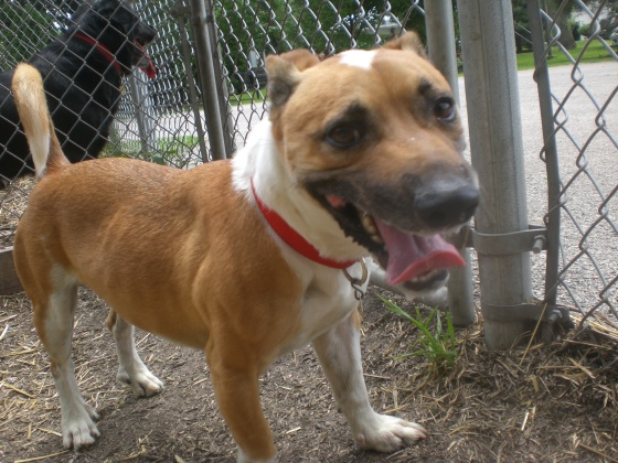 Charlie Jack Russell Terrier mix 2