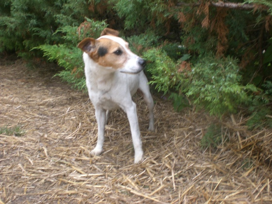 Patches Jack Russell Terrier mix 2