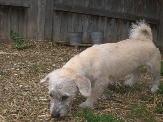 Stanley Terrier mix 1