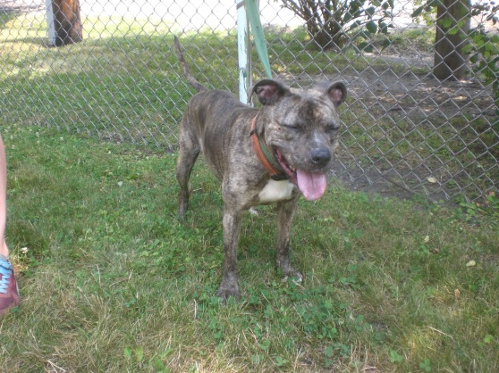 Harley Pit Bull Terrier mix 2