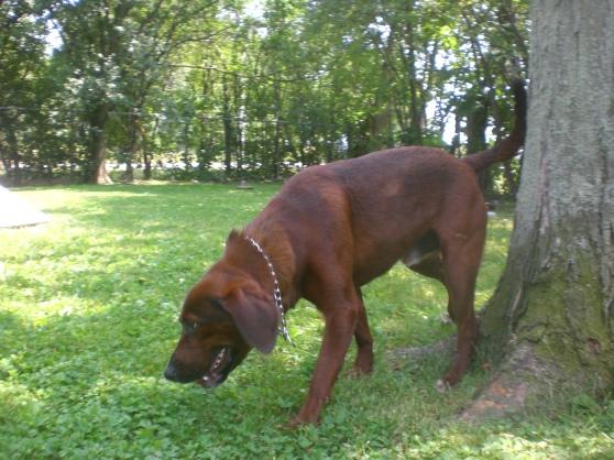 Redd Beagle mix 2
