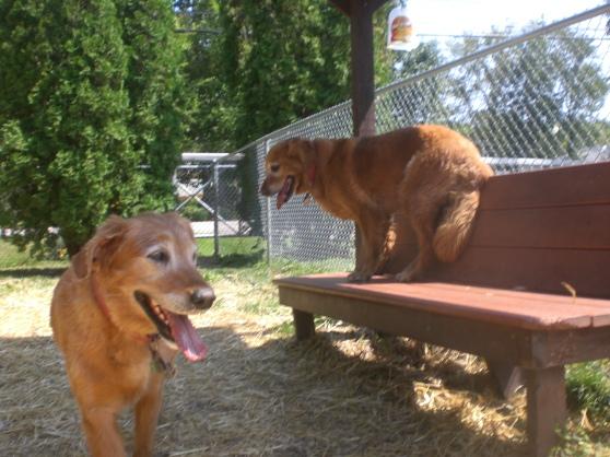 Cinnamon and Carmel Golden Retrievers