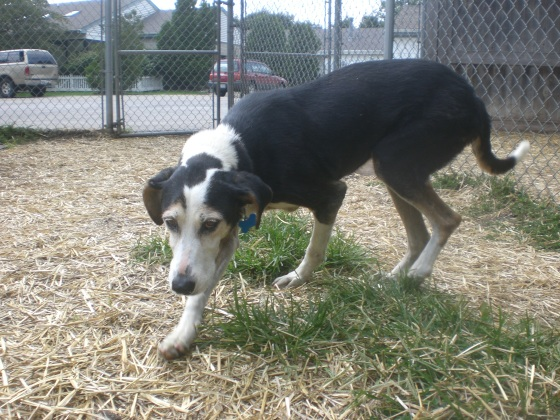 Millie Treeing Walker Coonhound mix 1