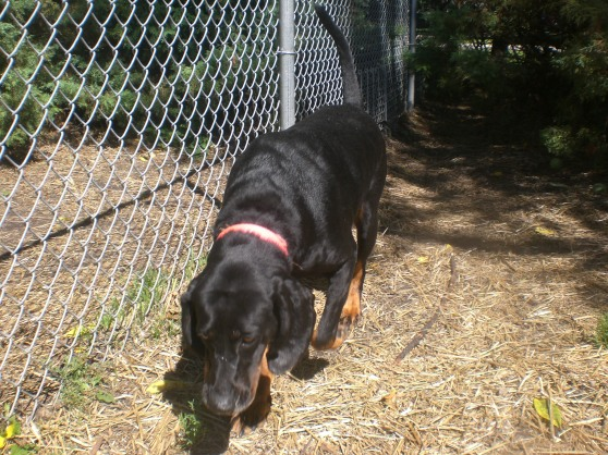 Courage Black and Tan Coonhound mix 1