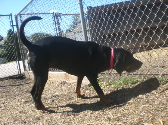 Courage Black and Tan Coonhound mix 2
