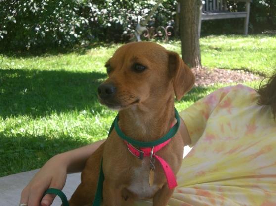Trixie Chihuahua mix 2