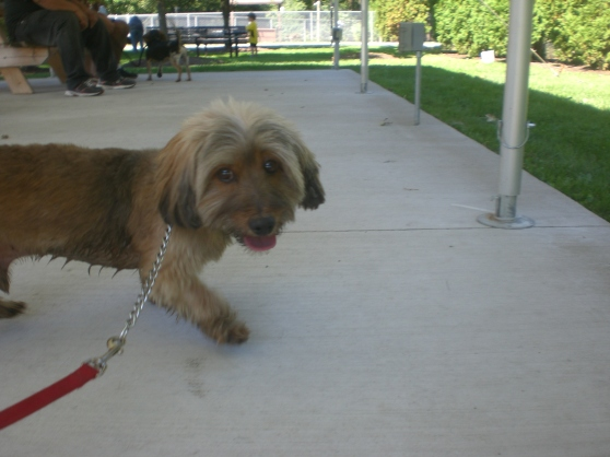 Simon Silky Terrier mix 1