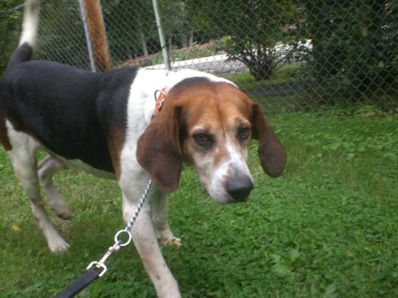 Digby Treeing Walker Coonhound mix 1