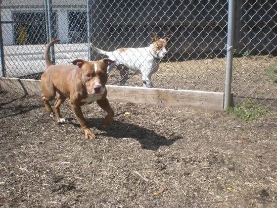 Duke Brown Pit Bull Terrier mix 1