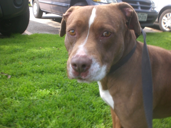 Duke Brown Pit Bull Terrier mix 2