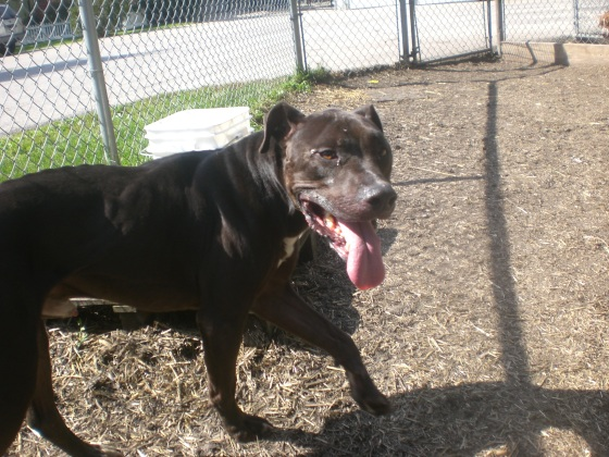 Ares Pit Bull Terrier mix 1