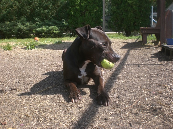Ares Pit Bull Terrier mix 2