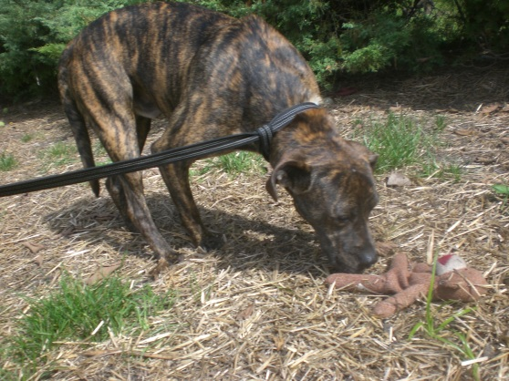 Fidelis Mountain Cur mix 2