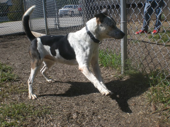 Rooster Australian Cattle Dog mix 1