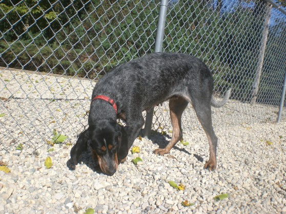 Myra Bluetick Coonhound mix 1