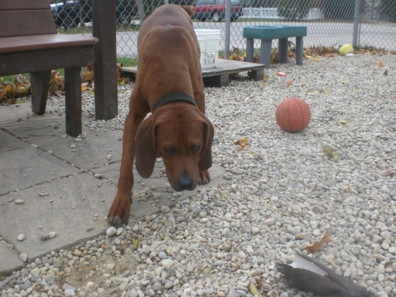 Rigby Redbone Coonhound mix 1