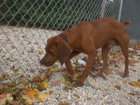 Rigby Redbone Coonhound mix 2