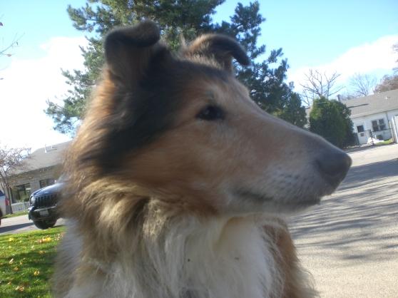 Lassie Collie mix 1