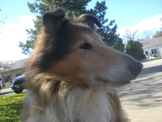 Lassie Collie mix 1
