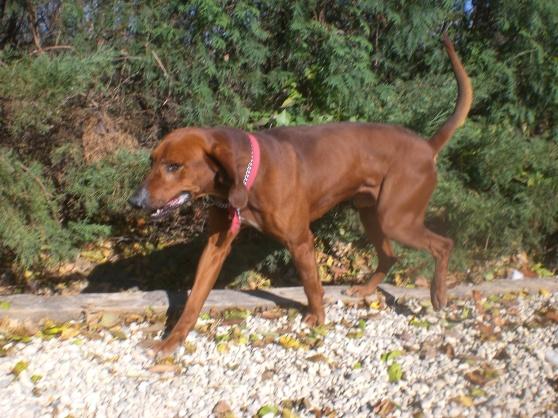 Old Red Redbone Coonhound mix 1