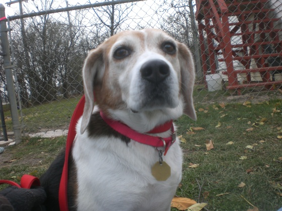 Cara Beagle mix 2