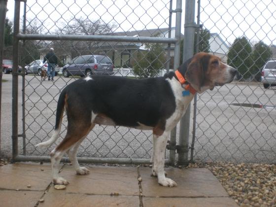 Liberty Treeing Walker Coonhound mix 2