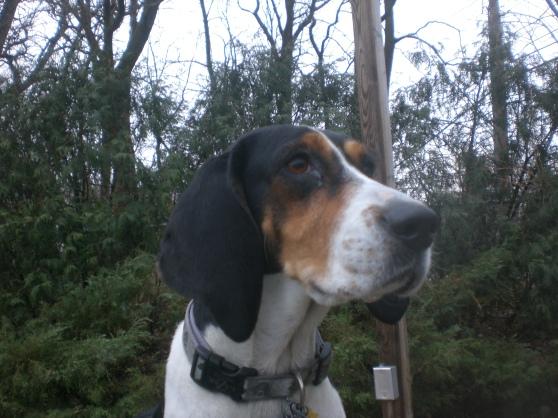 Ginger Treeing Walker Coonhound mix 1