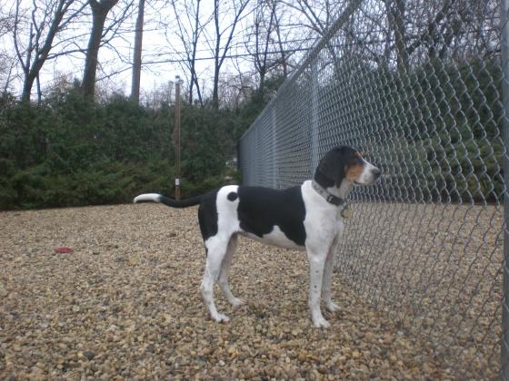 Ginger Treeing Walker Coonhound mix 2